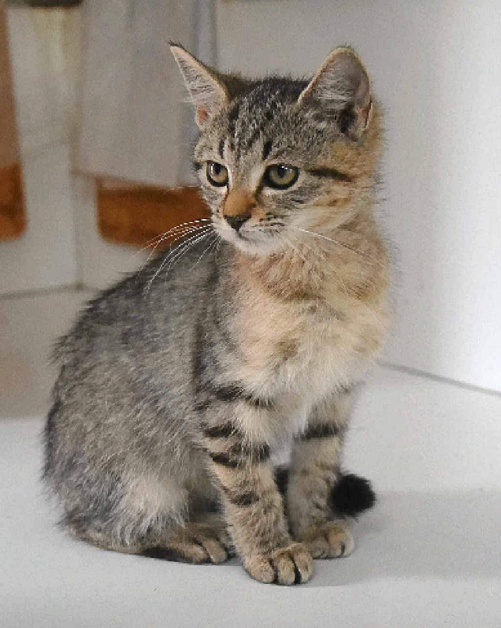 BUNDLE OF FUN: This kitten is waiting at the Dalby pound for a new home.