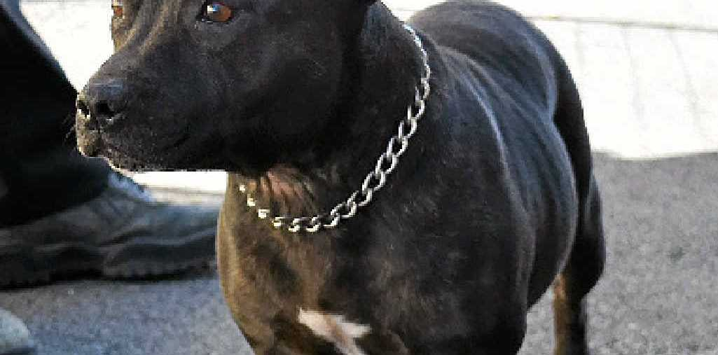 SWEET GIRL: This female black brindle staffy, aged four to five years-old, is friendly but shy.