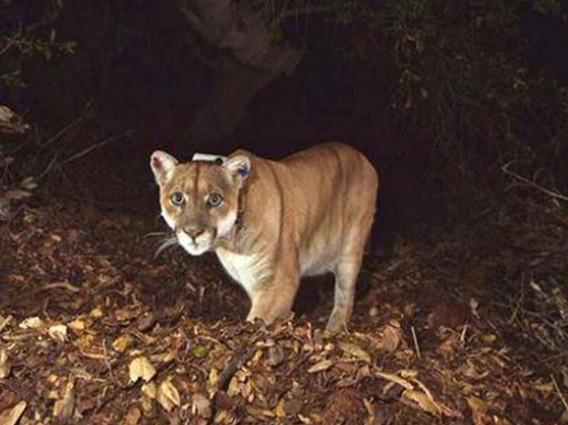 The mountain lion known as P22