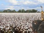 The Enkelmann family started bringing in a solid crop of cotton on Wednesday after another good growing season.