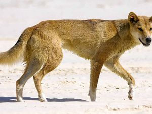 Fraser Island angler threatened by dingo on Easter weekend