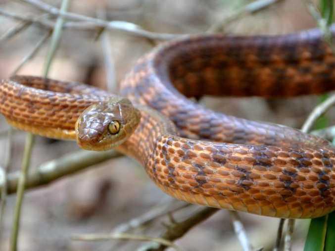 Brown Tree Snake Richie Gilbert
