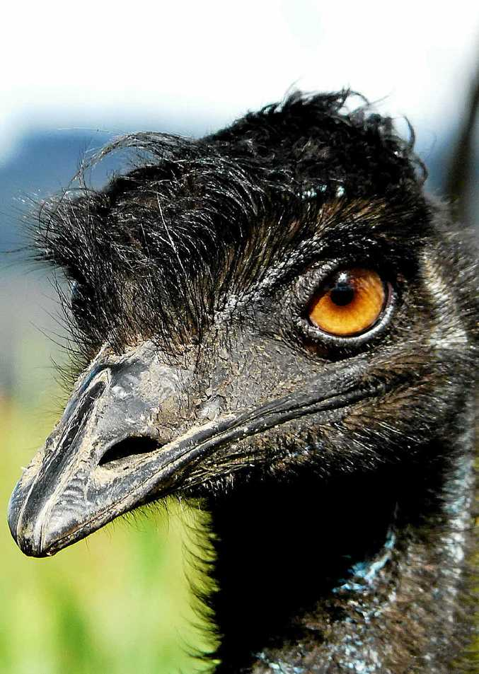 EYEING YOU OFF: Emus might look silly, but don't underestimate them.