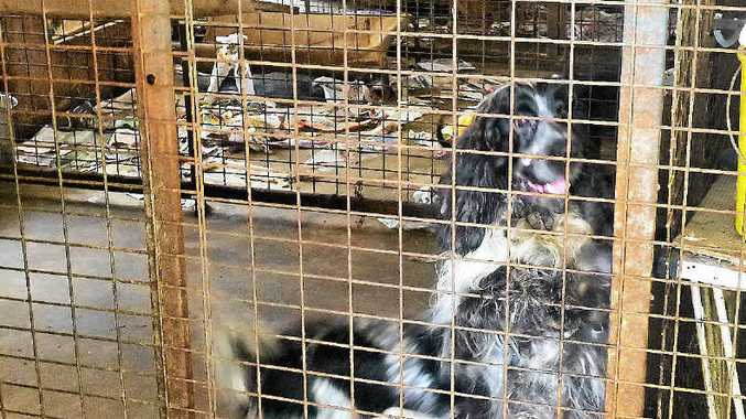 SHOCKING: RSPCA prosecuted a puppy breeder after 25 cocker spaniels were seized and surrendered in shocking conditions at her Wanora property.