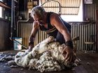 Jimmy Cuthers has averaged just over 130 wethers and ewes a day during the past fortnight; yet his best effort during the shed was a back-breaking 176 head.