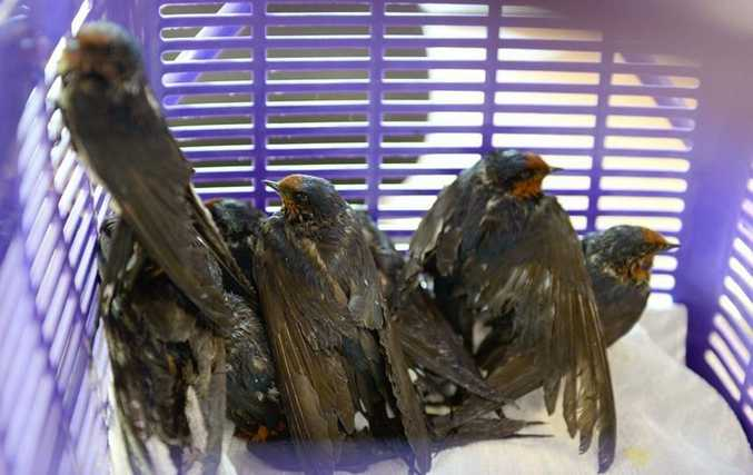 A flight of 32 swallows was found drenched in a sticky, adhesive gel that restricted them from flying at a Peregian property. Photo: Ben Beaden.