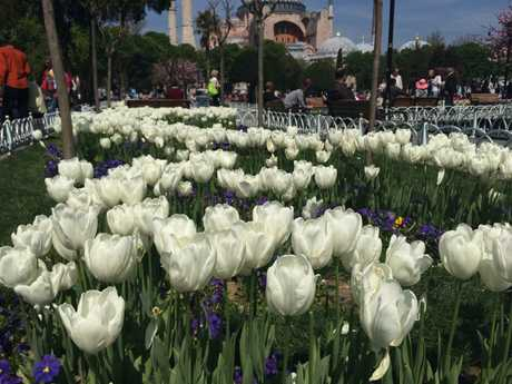 Tulips are in full bloom around Istanbul.