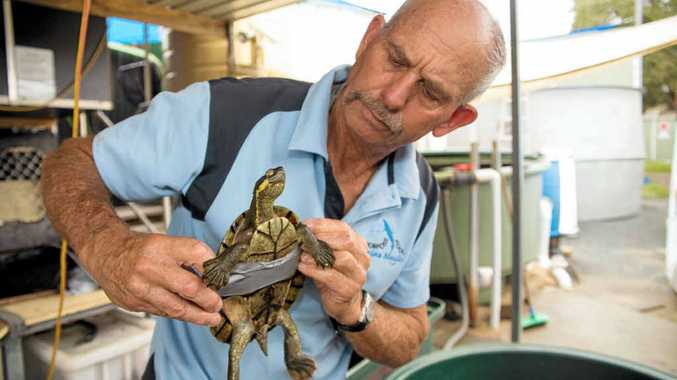 MYSTERY: Rare Bellinger River turtles were examined at Dolphin Marine Magic after the outbreak was reported.