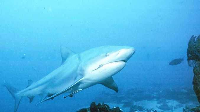 MONITORING PROGRAM: Bull sharks regularly move between the Sunshine Coast and the Gold Coast.
