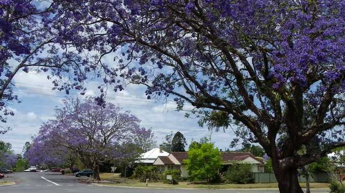PURPLE HAZE: Jacarandas cast mauve dapples over a sunny streetscape – photos for this weekend's Bellingen Show photography section must be entered by today.