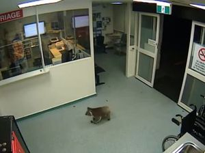 Koala named 'Blinky Bill' wanders into hospital emergency
