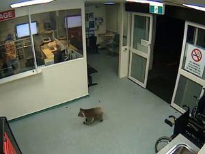 Koala named 'Blinky Bill' wanders into hospital emergency