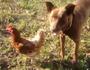 Meet Dougie: the dog that 'defleas' chickens