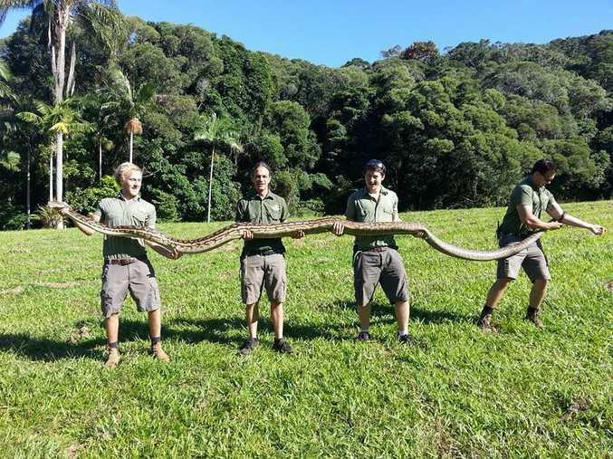 This 5m scrub python was caught in Kuranda Rainforest Park near Cairns in far north Queensland