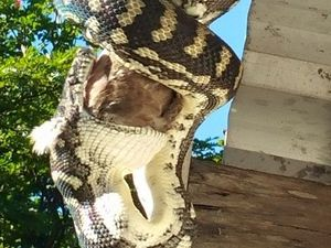 Very full slippery visitor hangs around at Eumundi home