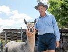 SPECIAL SHOW: Athol Hyland with several of his alpacas at Jacaranda Park.