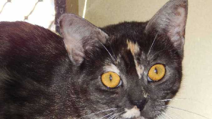 HOME NEEDED: Izzy is a one-year-old female domestic shorthair black smoke torti. She is a sweet-natured girl who gets along well with other cats and likes to receive pats and be brushed. A quiet lifestyle would best suit Izzy.
