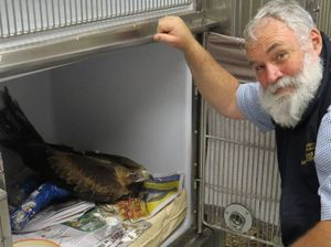 Eagle saved from cruel attempt to domesticate