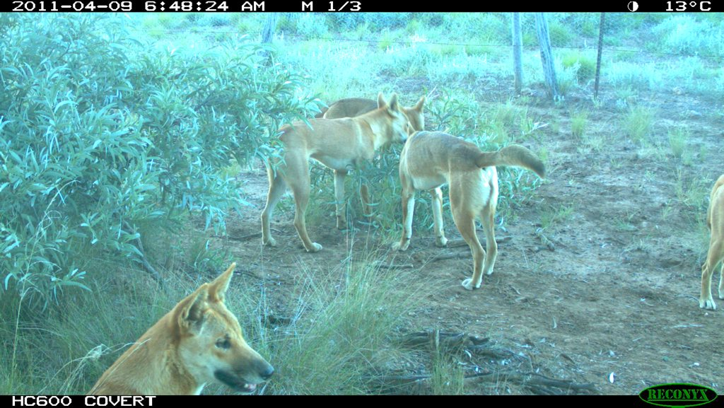 PREDATOR PRESSURE: In paddock cameras across the Southern Downs are starting to reveal the extent of the wild dog problem.