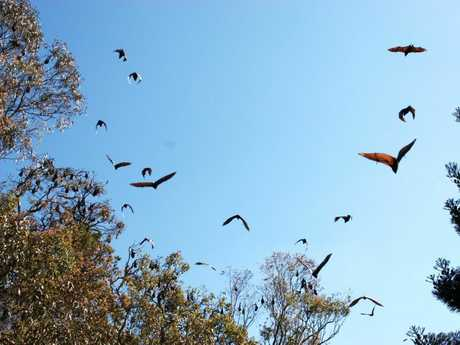 Council has decided to seek permits to disperse a flying fox colony at Kearneys Spring Park.
