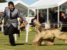 'Zam' the Afghan Wolfhound on his way to winning his section at the Ipswich Show on Wednesday. Photo: Rob Williams / The Queensland Times