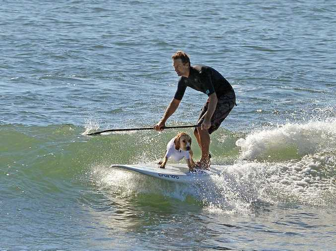 Wave of the day: Dog day out at Alexandra Headland, The Bluff. May 13, 2015. Photo Patrick Woods / Sunshine Coast Daily
