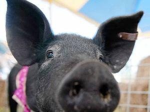 Warana Hotel Pig Racing