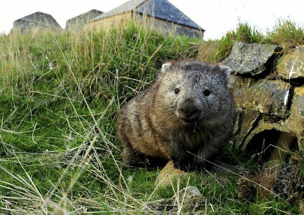 Tasmanian wombat. Photo: Tourism Tasmania
