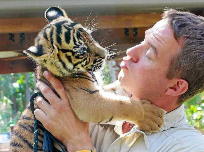 HANDLE WITH CARE: Giles Clark with an Australia Zoo Sumatran tiger cub.