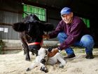 John Macey of Allura Stud at Belli Park with his Miniature Galloway cow Starlet and newborn calf Miss Showgirl born at the Ipswich Showgrounds during the Ipswich Show. Photo: David Nielsen / The Queensland Times