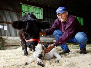 Calf born at Show