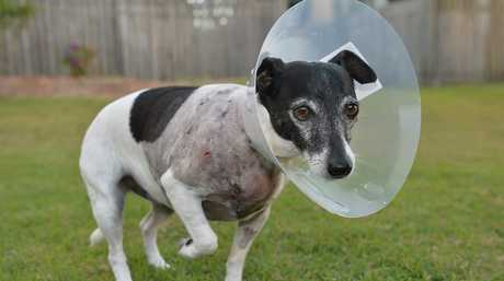 Viv Gibson takes care of her dog, Pepsi, after she was attacked by a larger dog and left with $1000 vet bill.