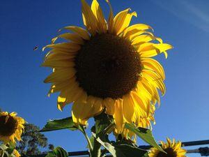 Will a Toowoomba school grow the heaviest sunflower?