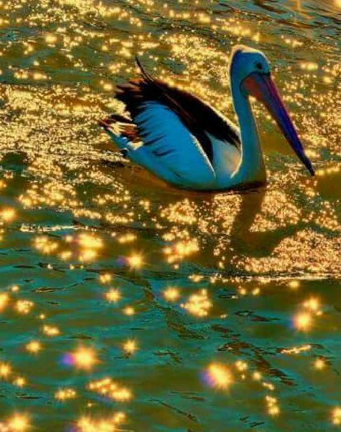Photo of the week winner Karen Bloink, pelicans at Mooloolaba.