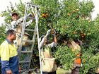 CITRUS PICKING: Backpackers hit the trees when the fruit is at its best.