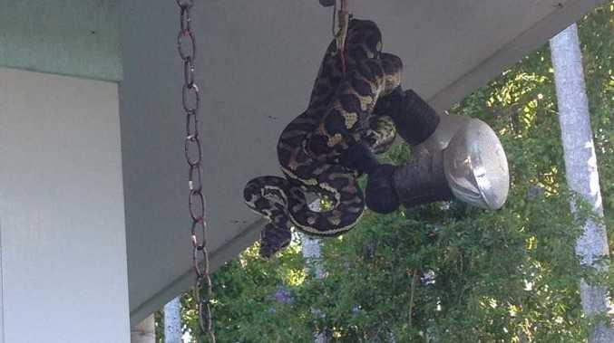 Python waits for its next prey at Buderim home.