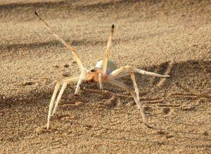 The Cartwheeling spider, Cebrennus rechenbergi
