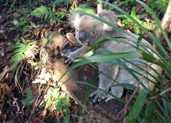 This cute little bloke was spotted during bush regeneration along Coffs Creek.