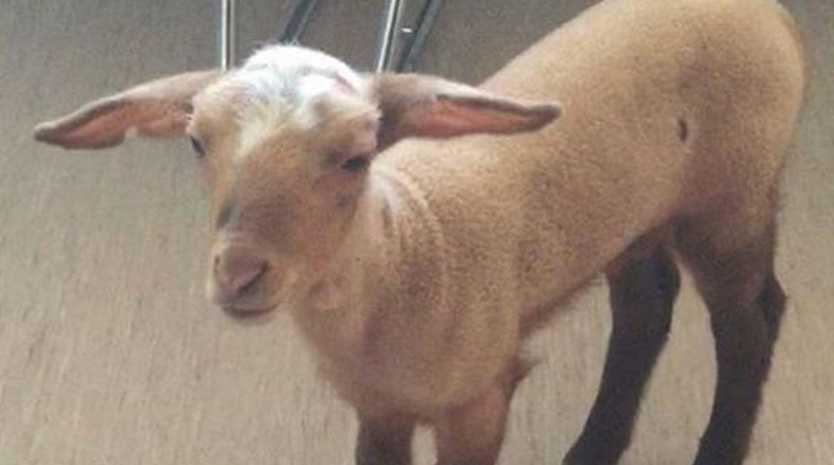 A lamb found in a German police raid of a brothel
