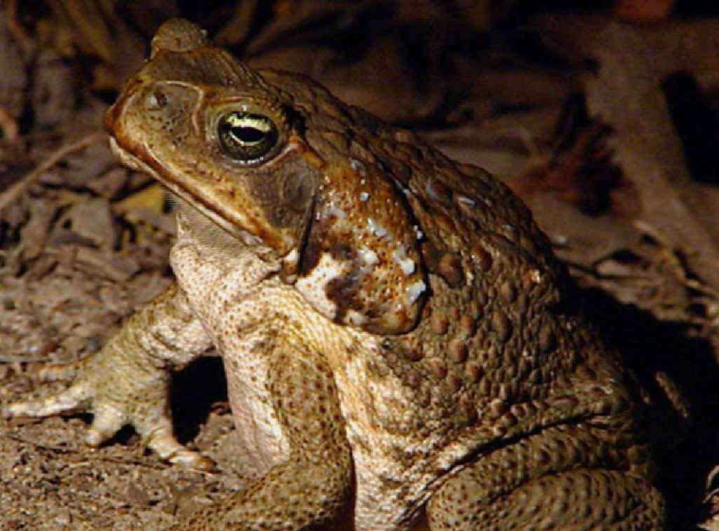 PEST CONTROL: A university study has looked into the most painless way to kill a toad.