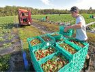 TAKE YOUR PICK: The annual influx of backpacker workers has begun on Sunshine Coast strawberry farms.