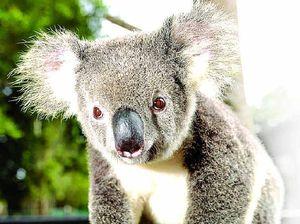 'No coming back': Coast's koalas near extinction, group says