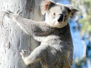 Is it ok to clear koala habitat on the Fraser Coast?