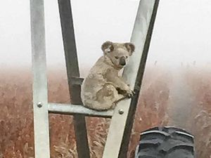 Lost Darling Downs koala finds fog 'unbearable'