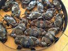 Crab races raise nearly $30,000
