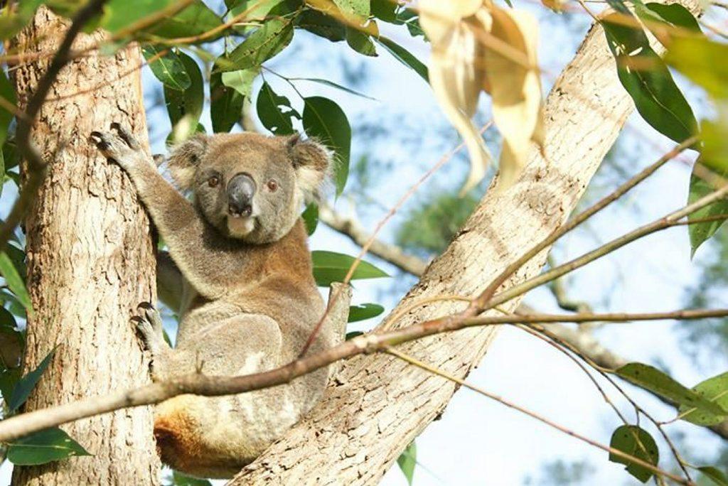 Di Lymbury's photo of a koala.