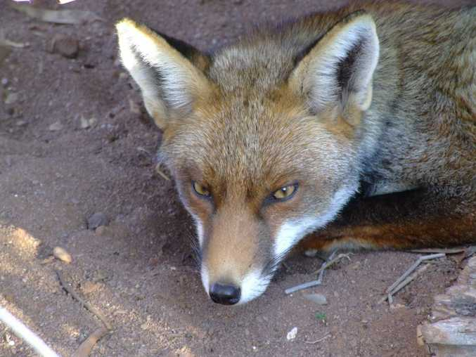 Sunshine Coast Council and the Queensland Parks and Wildlife Service will be working together to control fox breeding activity and reduce fox predation on native species.