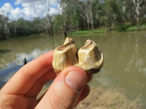 Lower molar tooth of the giant and weird wombat-like marsupial, Euryzygoma. Photo Contributed