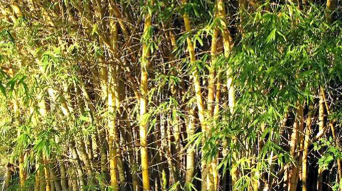 PEST: There are over 1200 varieties of bamboo throughout the world bur none are native to Australia.