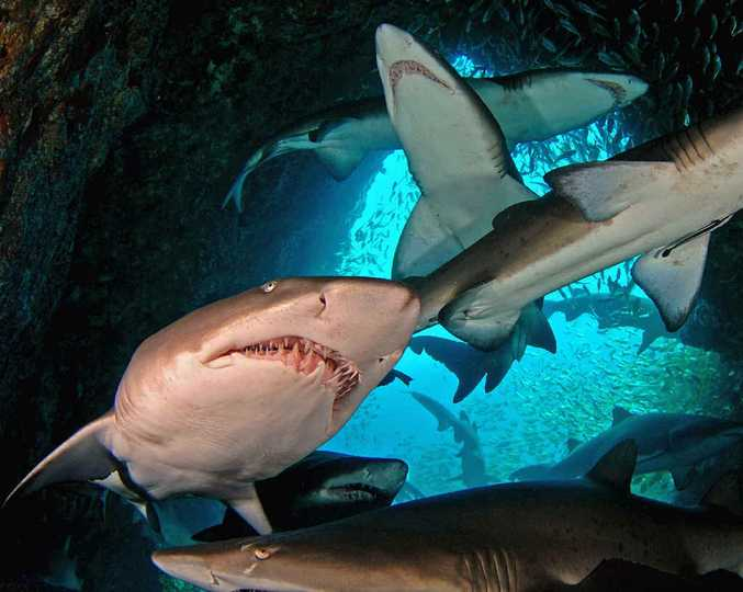 MAIN ATTRACTION: South West Rocks teems with grey nurse sharks.